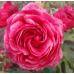 Роза канадская Моден Руби