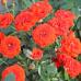 Роза мини Оранж Бейби