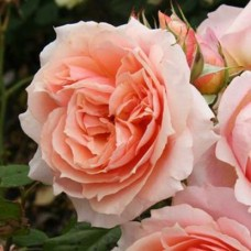 Роза шраб Поль Бокюз