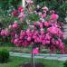 Роза почвопокровная Зе Фейри (Пинк Фейри) на штамбе