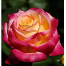 Роза чайно-гибридная Восточный Экспресс