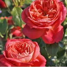 Роза флорибунда Квин оф Хартс