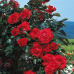 Роза плетистая Ред Флейм