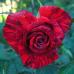 Роза чайно-гибридная Ред Интуишен