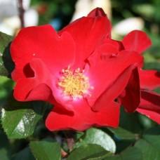 Роза (гибрид ругозы) Робуста