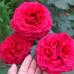 Роза флорибунда Роза 4 ветров