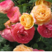 Роза шраб Розоман Жанон