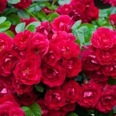 Роза почвопокровная Роте Фейри