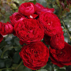 Роза флорибунда Красная Шапочка