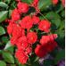 Роза почвопокровная Скарлет Мейландекор