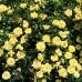 Роза почвопокровная Зоненширм