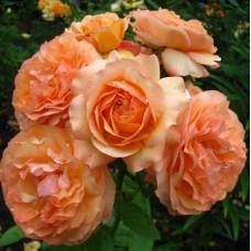Роза чайно-гибридная Сурир дю Хавр