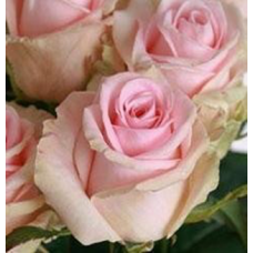 Роза чайно-гибридная Свит Доломити