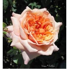 Роза шраб Версайни