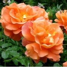 Роза шраб Вестерленд