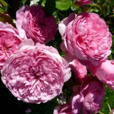 Роза шраб Шанталь Мерьё