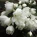 Жасмин садовый (чубушник) Сноубель