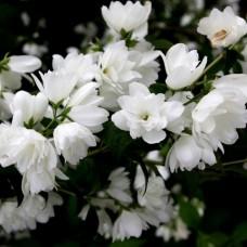 Жасмин садовый (чубушник) Сноугуз