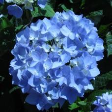 Гортензия крупнолистная Бесконечное лето (Эндлесс Саммер) - голубая