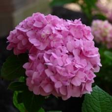 Гортензия крупнолистная Бесконечное лето (Эндлесс Саммер) - розовая